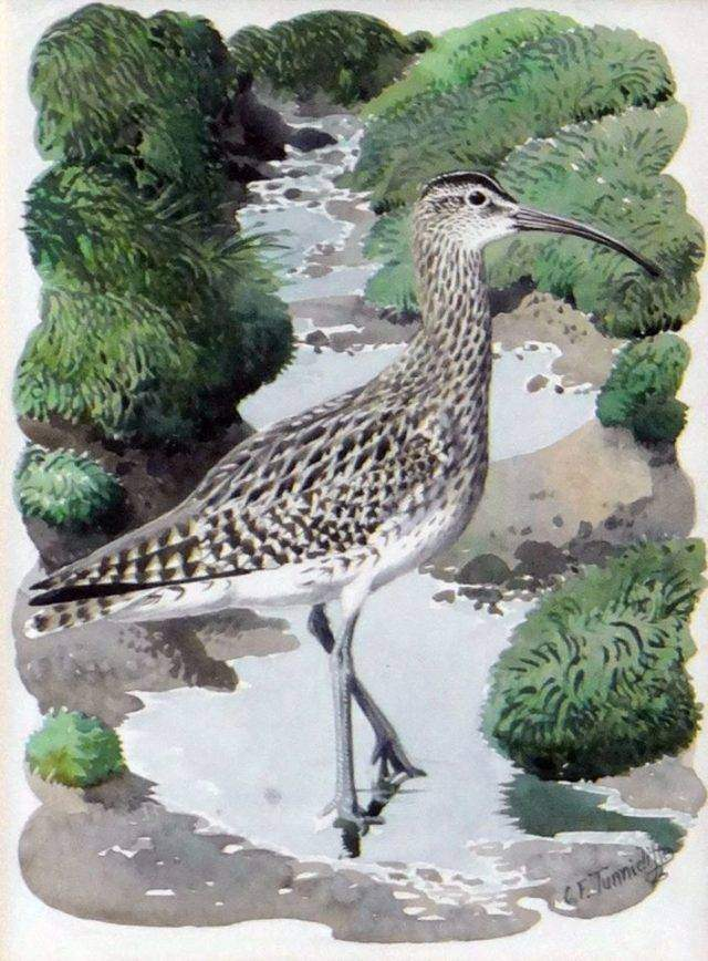 Standing Whimbrel